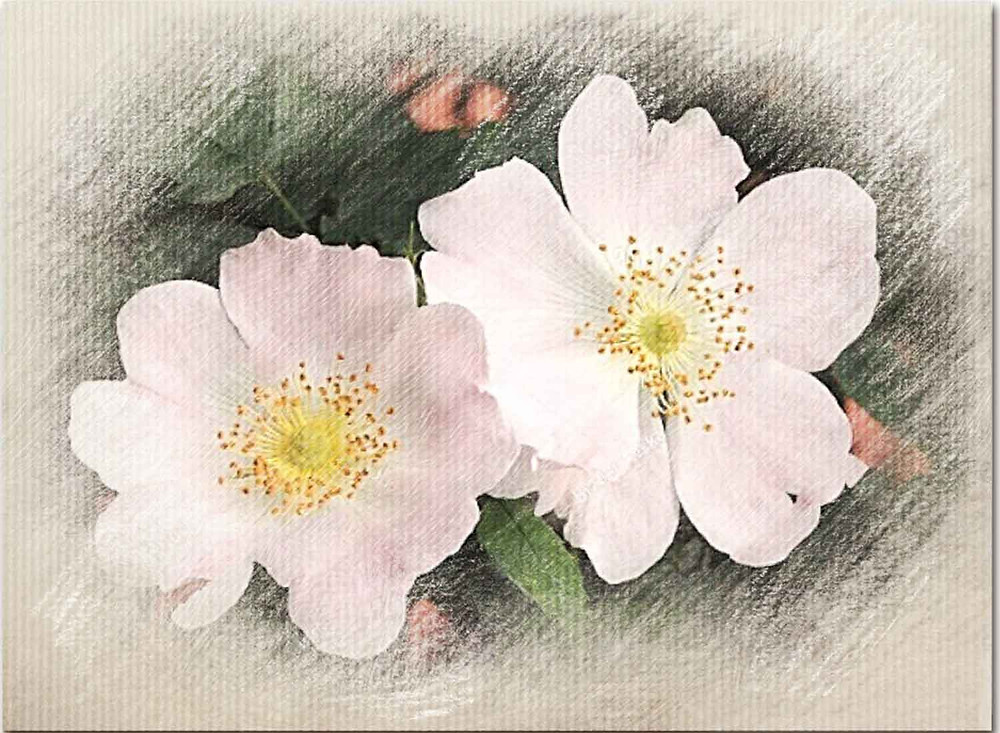 Wild Rose, Bach Flower Remedy for Inertia, apathy, easily bored