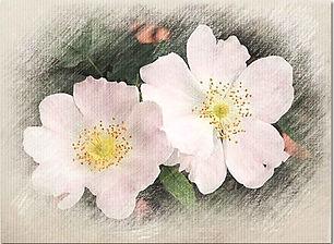 Wild-Rose-outer.jpg