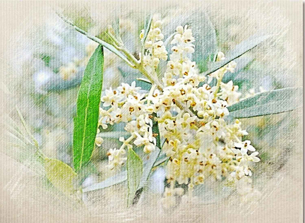 olive, BAch Flower Remedy, Mental or physical exhaustion