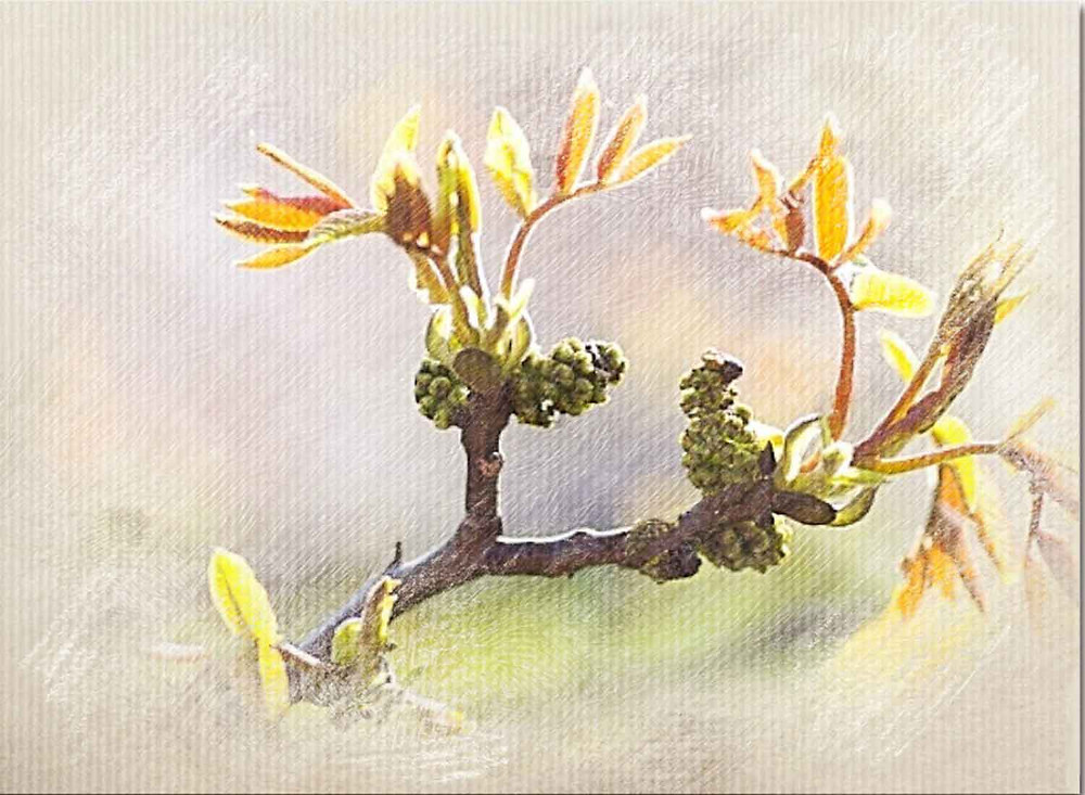 Walnut, BAch Flower Therapy, Protection from Changes, Adapting to new situations