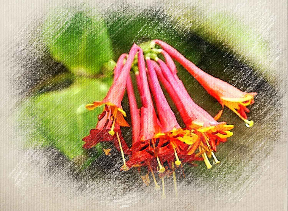 Honeysuckle, Bach Flower Remedy, People who live in the past, Melancholy, Regression