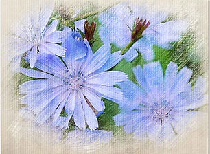 Chicory-outer.jpg