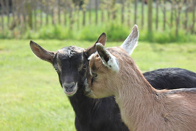 Lammetjes geitenboerderij