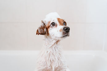 cute lovely small dog wet in bathtub, cl