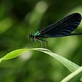 Calopteryx vierge, Auteur Aurelien Hugue