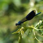 Calopteryx_splendens_-_Chatou_-_Aurélien