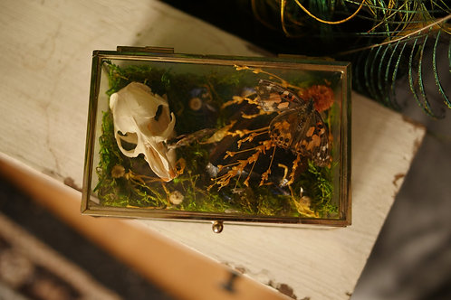 Glass Box with Muskrat Skull and Painted Lady