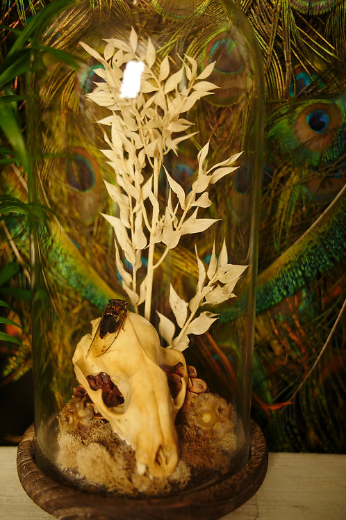 Raccoon Skull and Cicada in Large Glass Dome