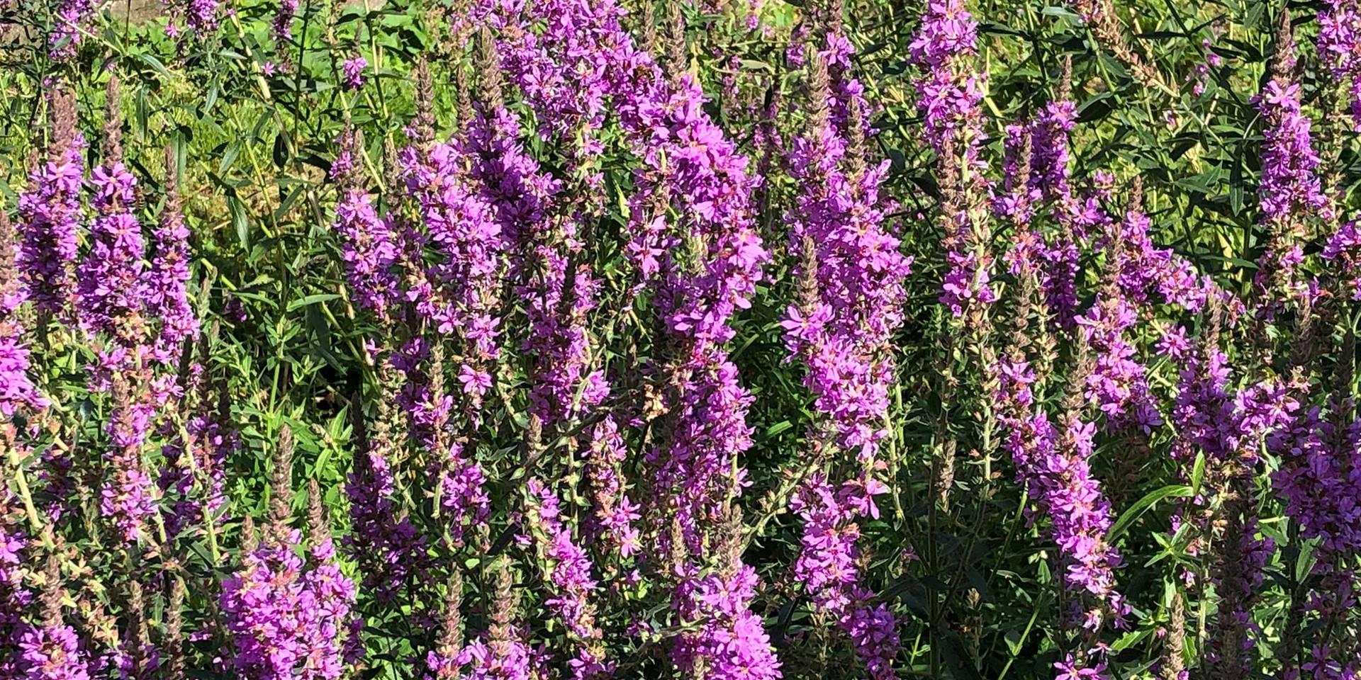 Wild growing lavender