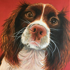 Spaniel on Red