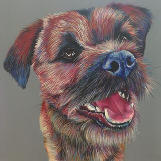 Border Terrier on Grey