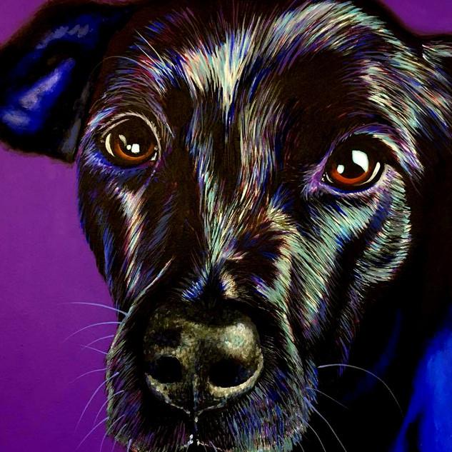 Black Labrador on Purple