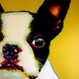 Boston Terrier on Yellow
