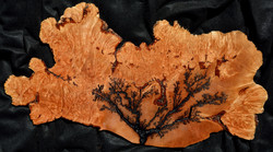 Big Leaf Maple Burl