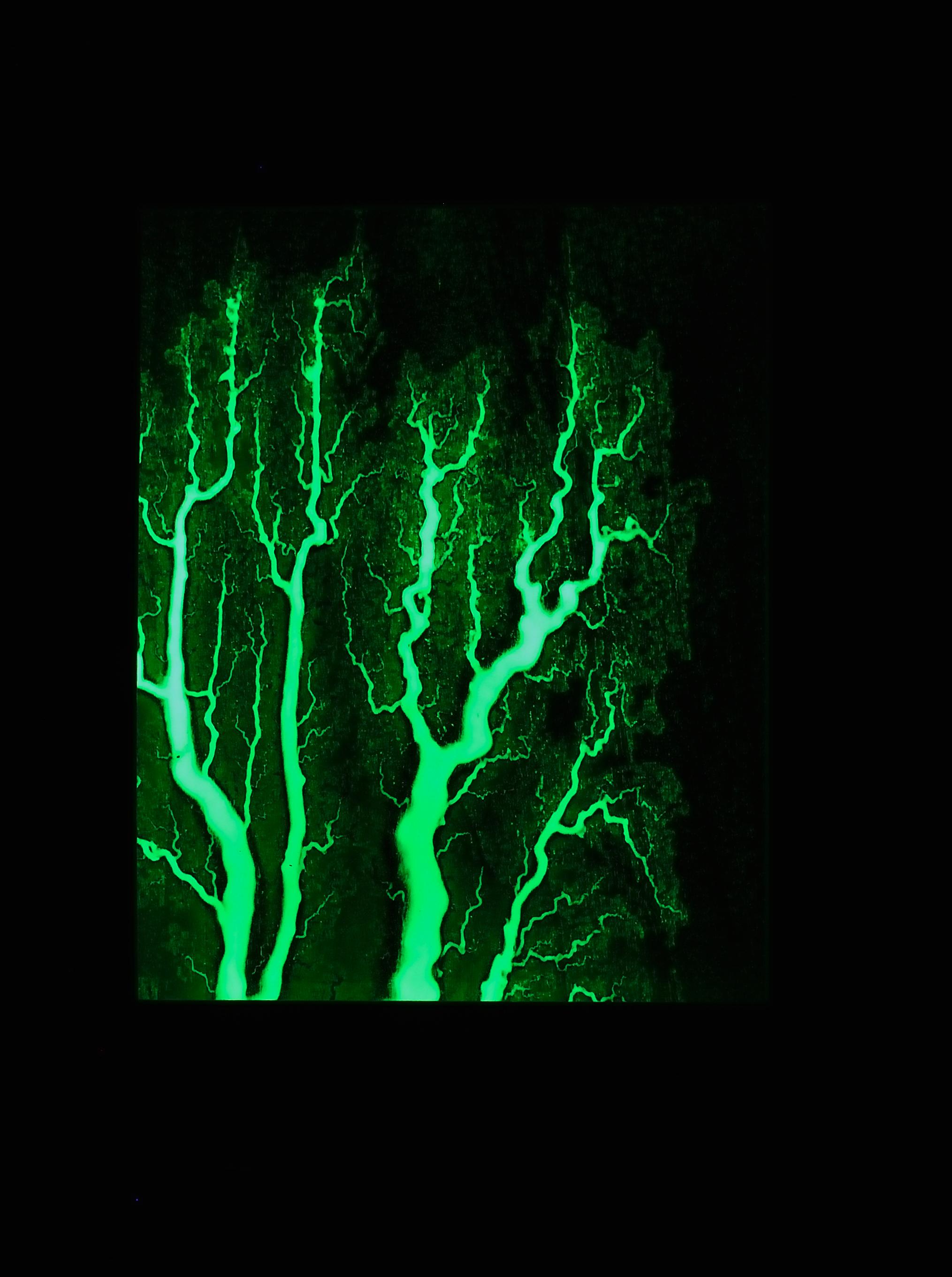 Poplar Glow in the Dark