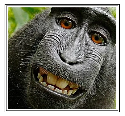 The famous monkey selfie (© either David Slater or nobody, 2011)