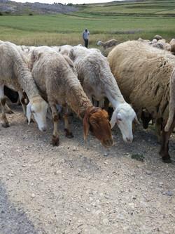 Dougga sheep