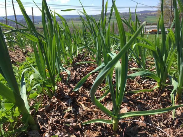 Garlic soaking up sunshine