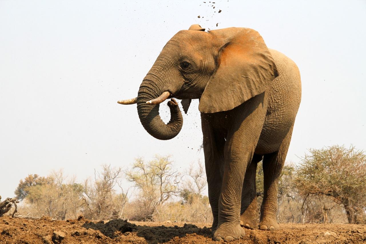 Elephant mudbath.