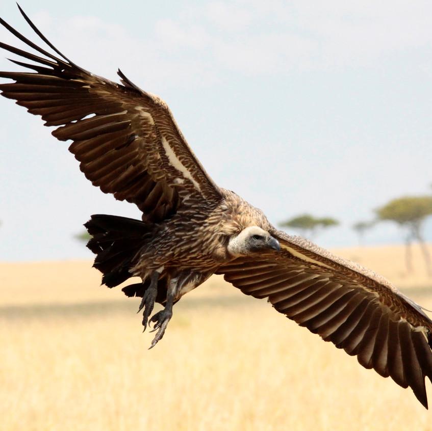 White-Backed Vulture in flight