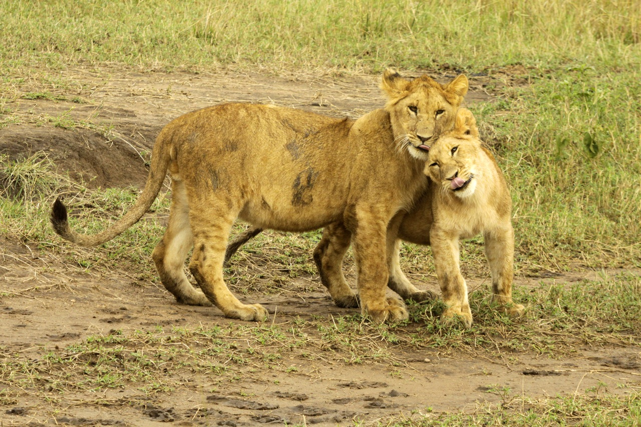 Lion Cubs loving.
