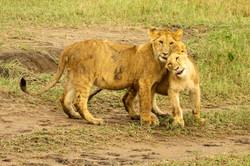 Lion Cubs loving.