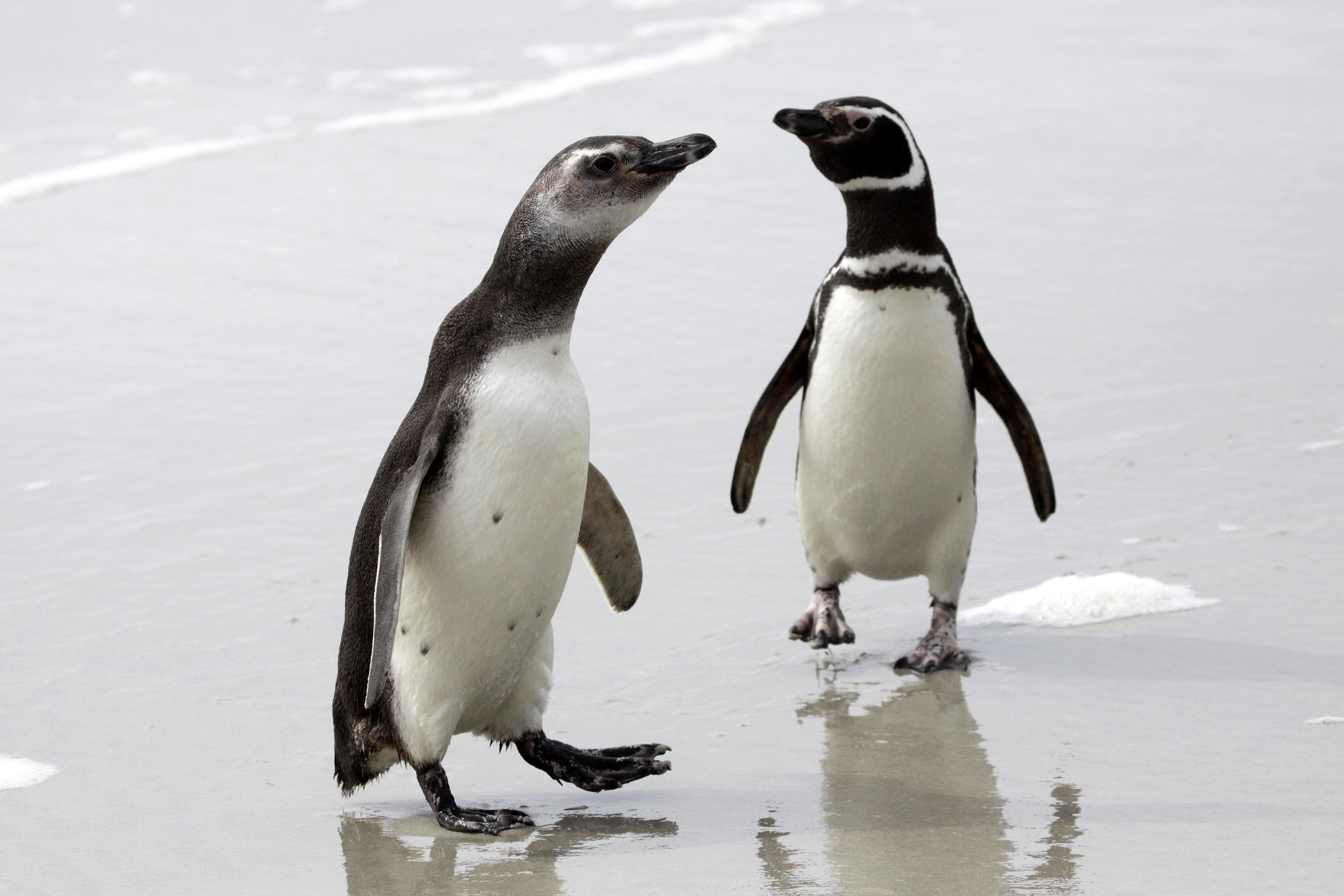Magellanic Penguins.