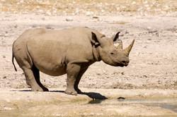 Black Rhinoceros.