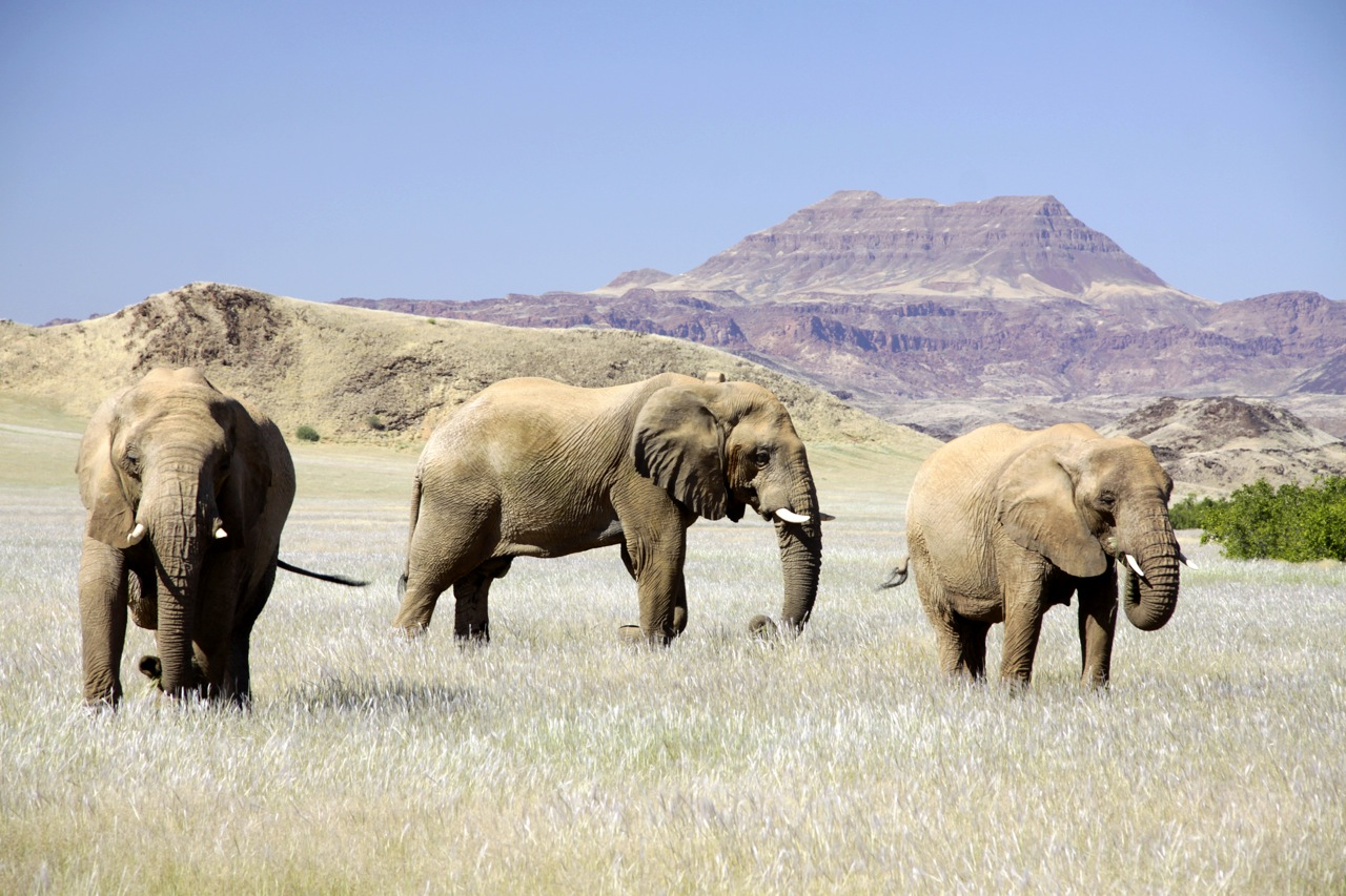 Desert elephants grazing.