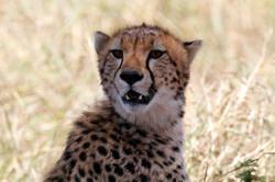 Cheetah after the kill.