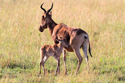 Red Hartebeest and calf.