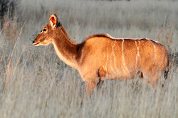 Greater Kudu Cow.