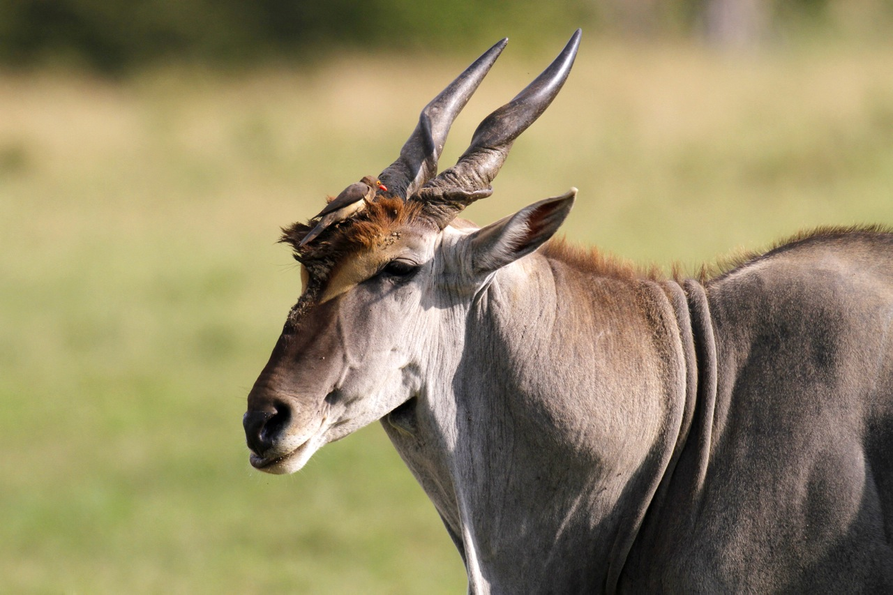 Eland Bull and oxpecker.
