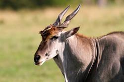 Eland Bull and oxpecker.
