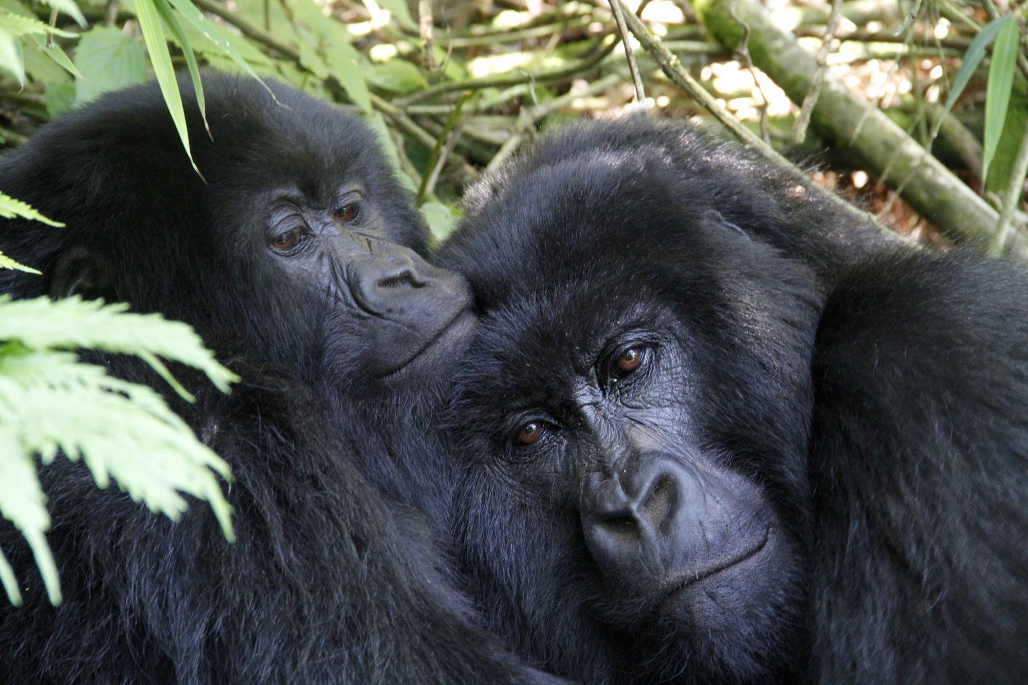 Gorilla Embrace.