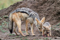Black-Backed Jackal and pup.