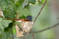 Paradise flycatcher female.