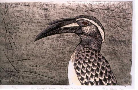 The Hornbill Series:Grey Hornbill