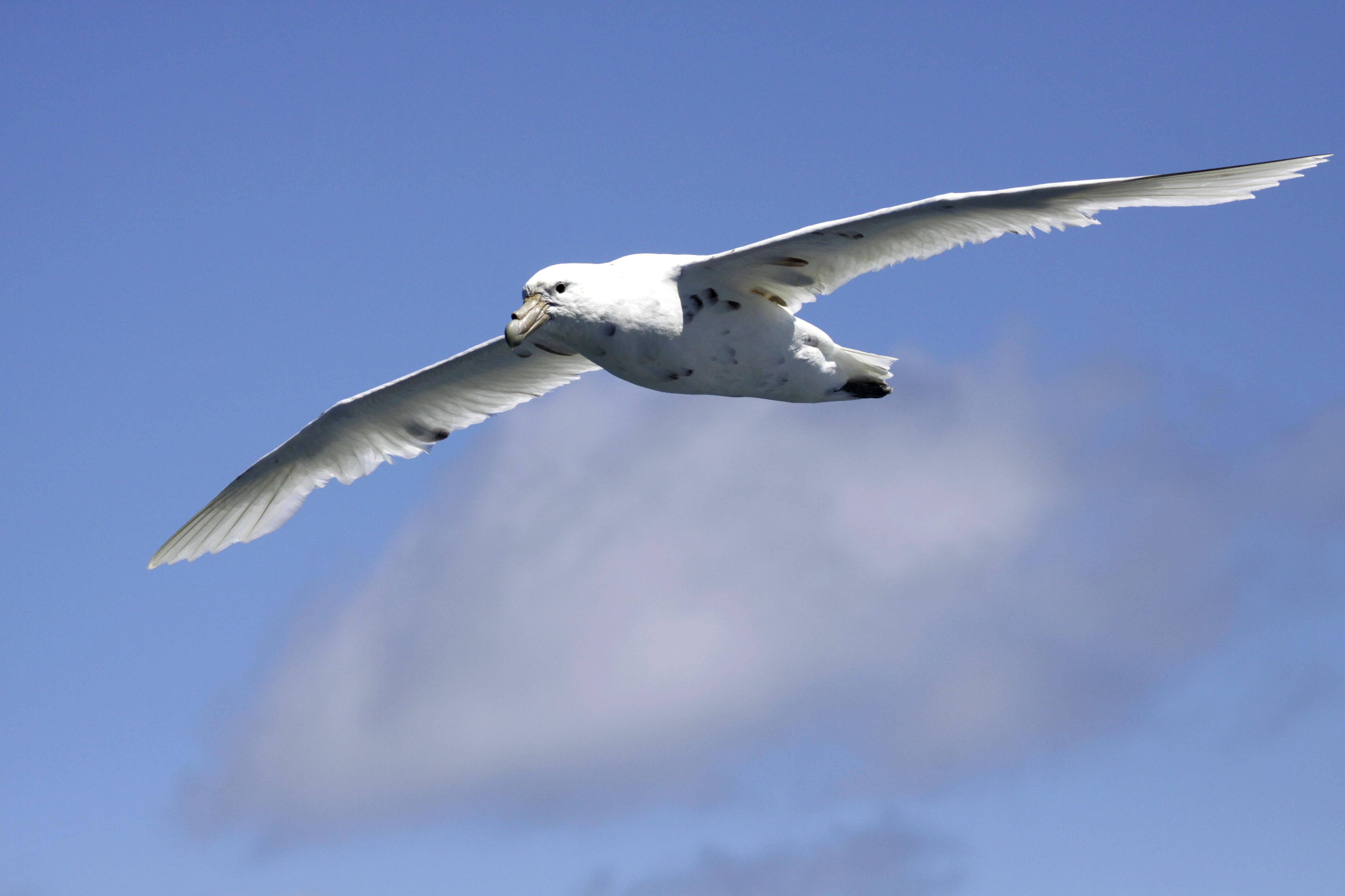 Southern Giant Petrel white-morph.