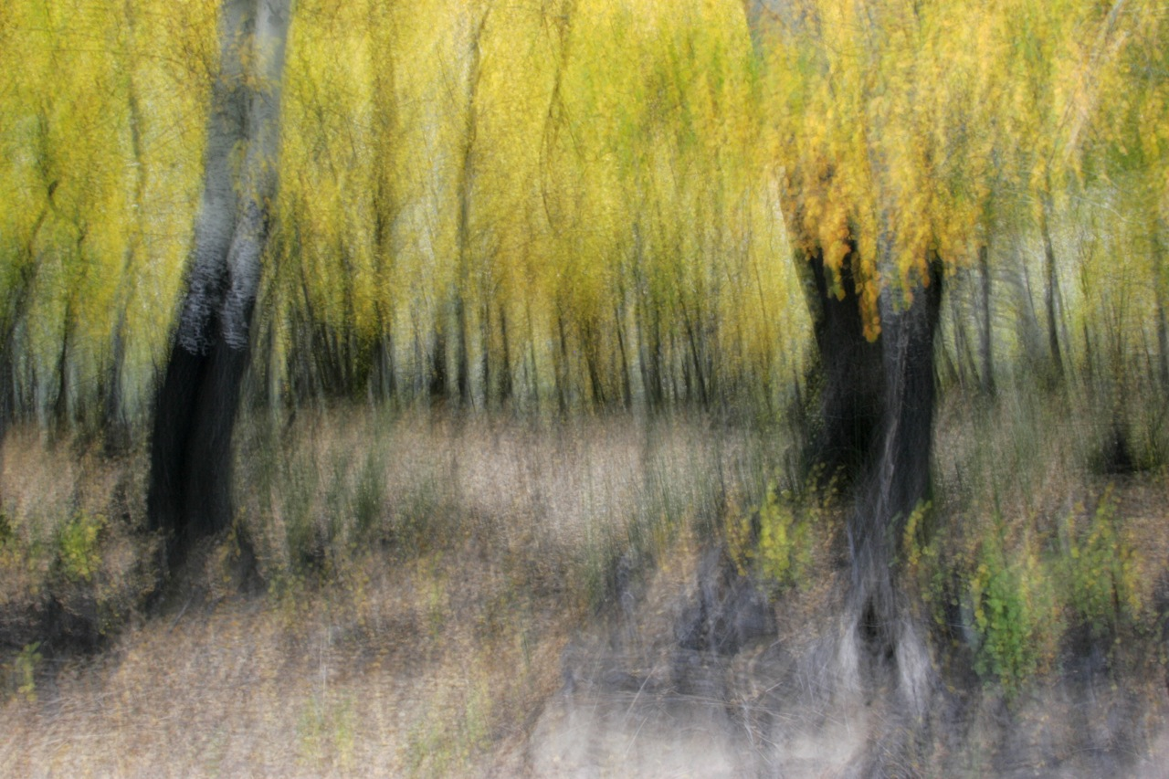 Autumn Poplar Impression.