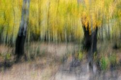 Autumn Poplar Impression.