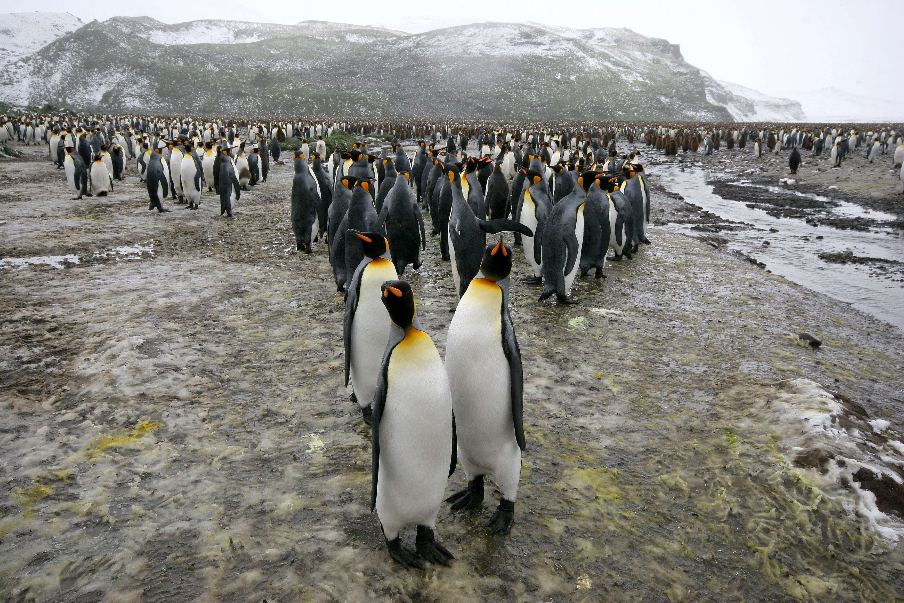 King Penguin Parade.