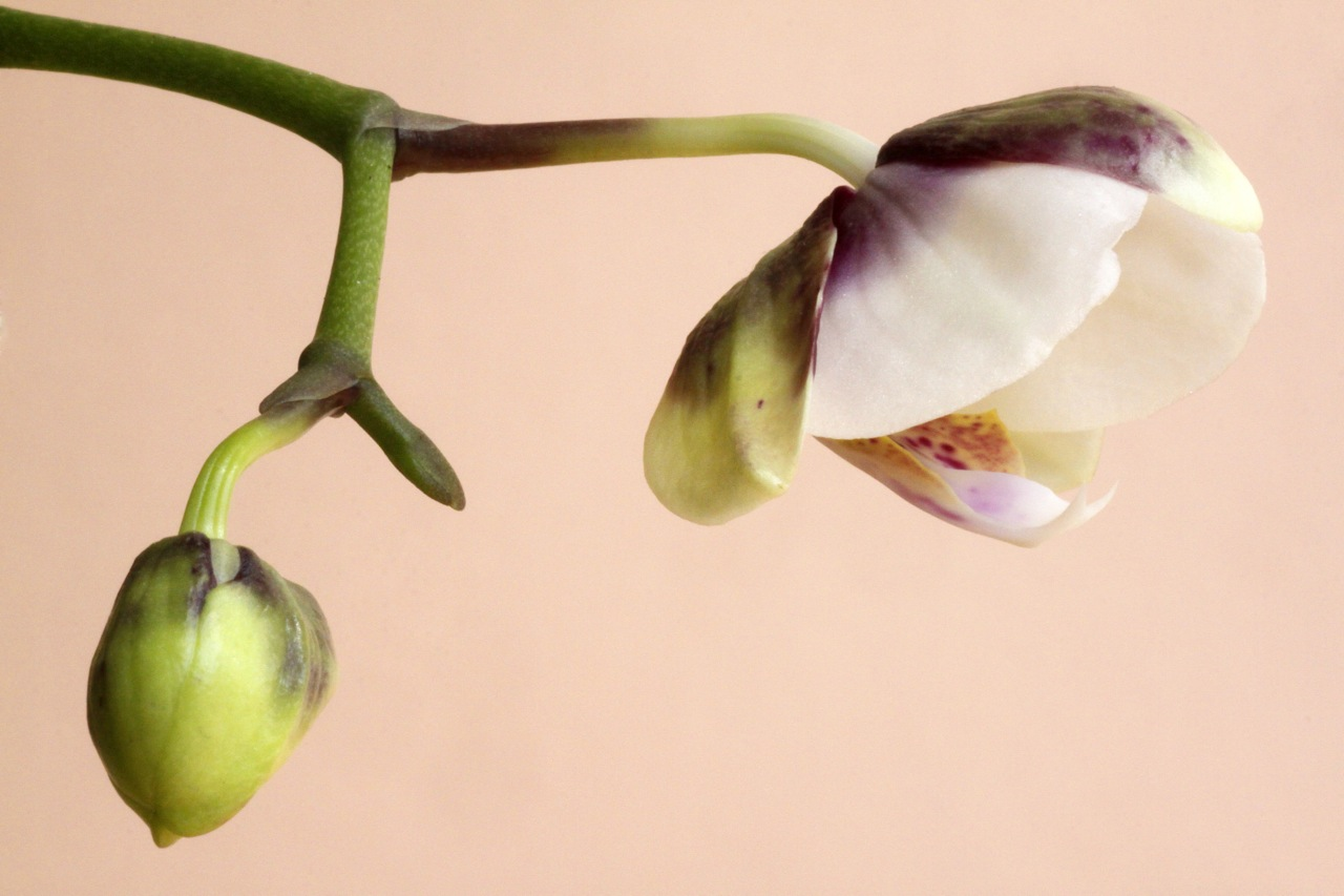 Orchid Bloom.