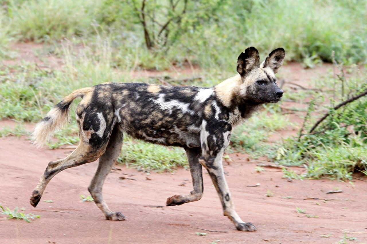 African Wild Dog striding.