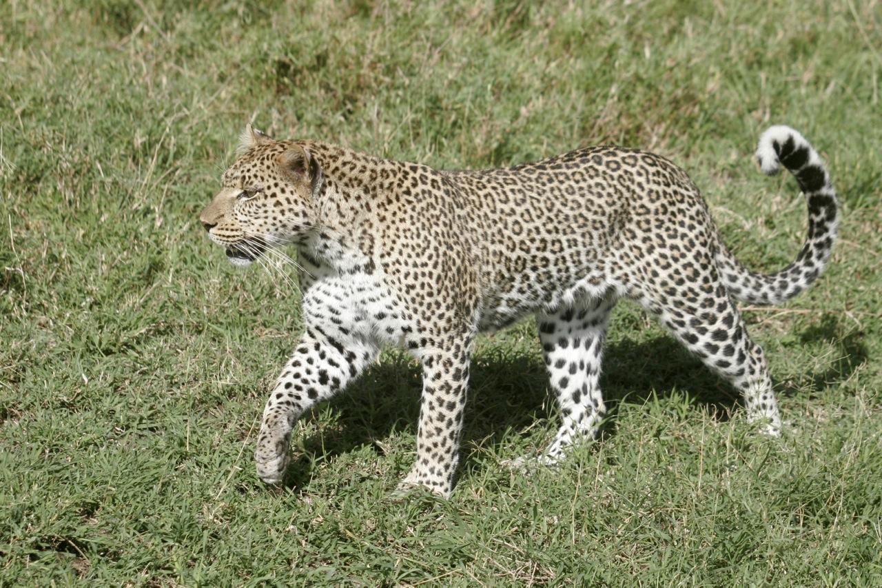 Leopard Striding.jpg