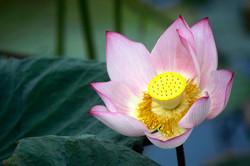 Lotus bloom, Thailand.