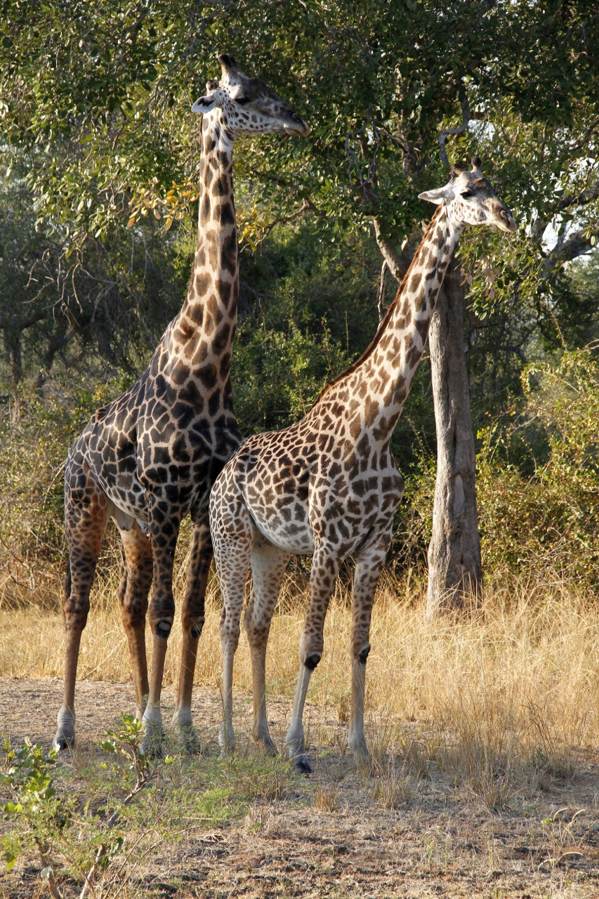 Male and Female Thornicrft Giraffe..jpg