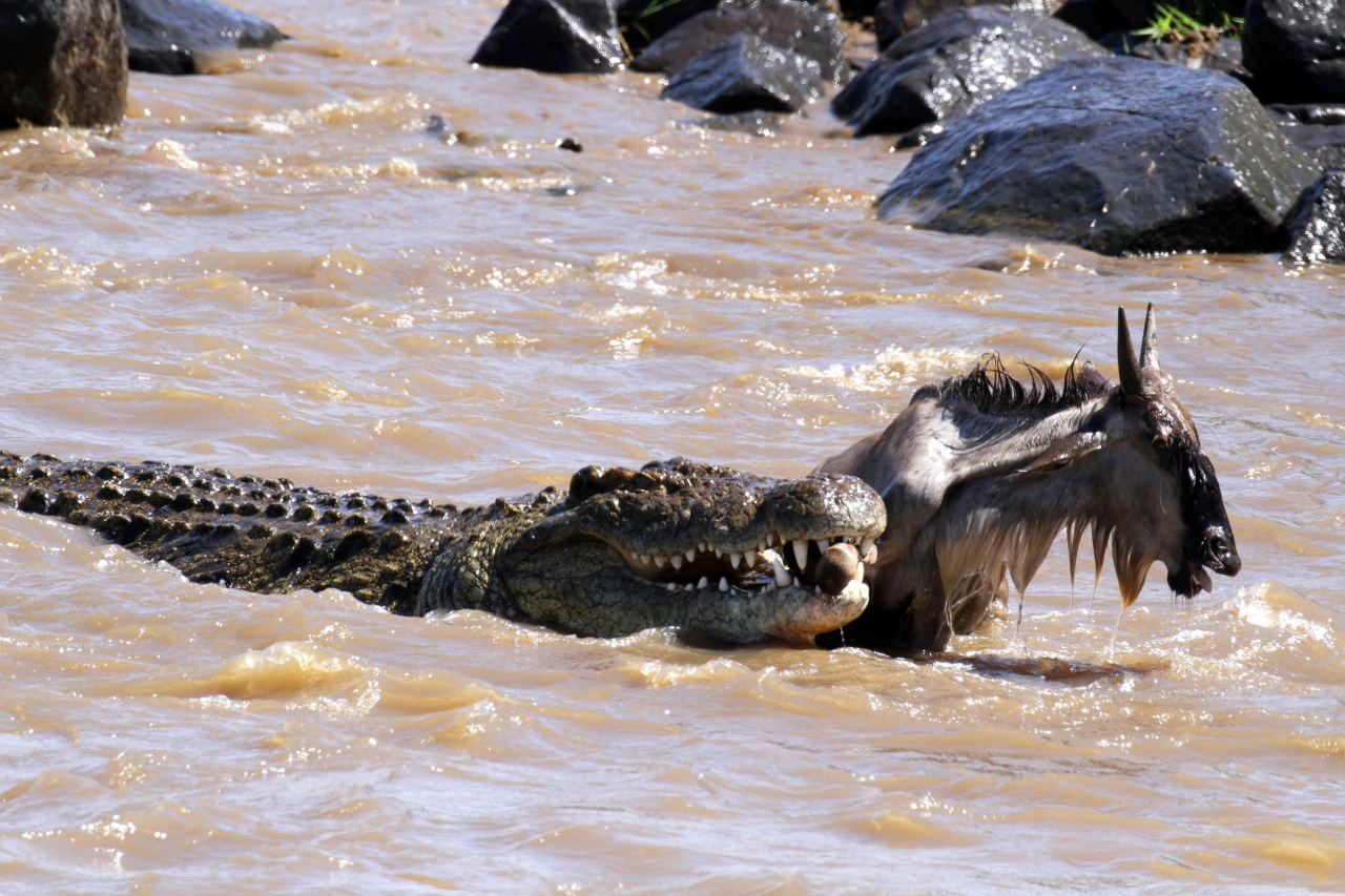Crocodile and Wildebeest prey.