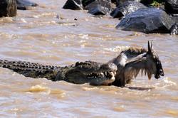 Crocodile and Wildebeest prey.