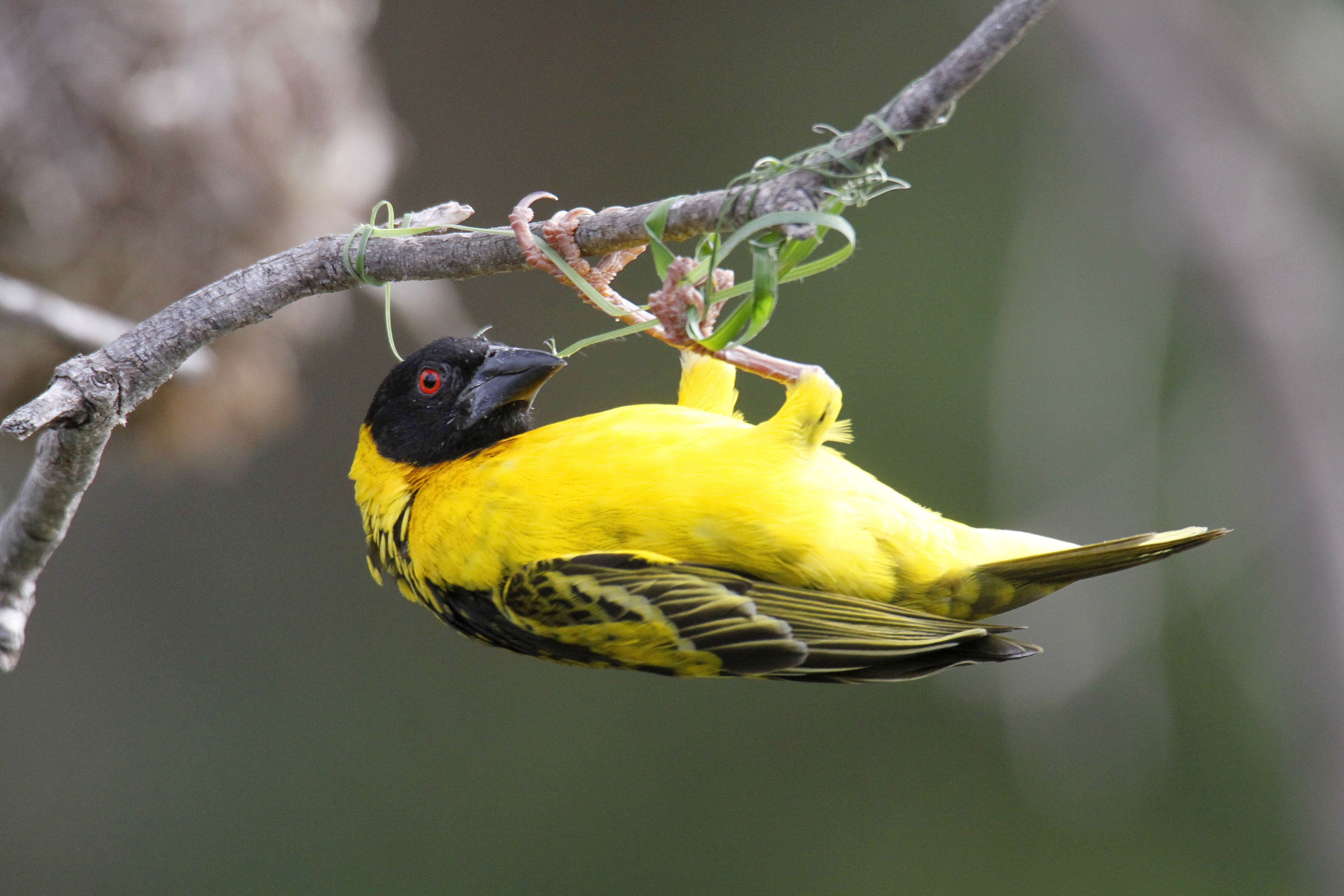 Spotted-Backed Weaver nest building.